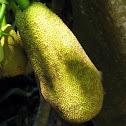 Jaca (Jackfruit)