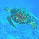 Atlantic Green Sea Turtle