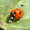 Mariquita de 7 puntos, The seven-spot ladybird