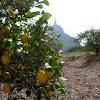 Limonero. Lemon tree