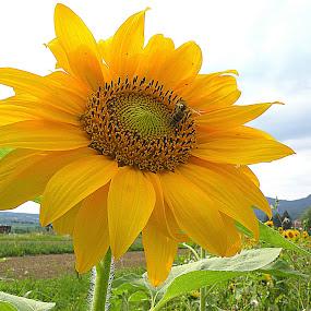 Sunflower by Ana France - Flowers Single Flower ( 2014 -06 -22 sončnice )