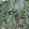 Camphor tree berries