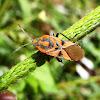 Chinche. Bug