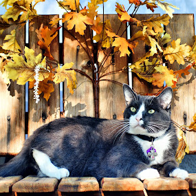 Loved by Diana Gunning - Animals - Cats Portraits ( cat, nature, pet, loved, feline, kitty, maple leaves, garden, animal,  )