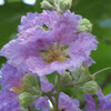 Giant Crepe Myrtle, Pride of India