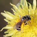 Plasterer Bee (Polyester Bee)