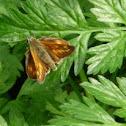 Large Skipper Butterfly
