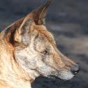 Dingo/Domestic Dog Hybrid