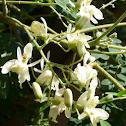 flower of drumstick plant
