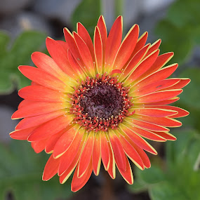 One Day Later by Ed Hanson - Flowers Single Flower ( orange, green, daisy, yellow, close-up )