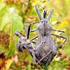 Wheel Bugs Mating