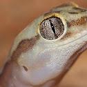 Box-patterned Gecko