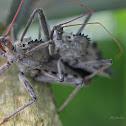 Wheel Assassin Bugs (mating)