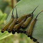 Long tailed sawfly (larvae)