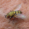 Golden Tachinid Fly