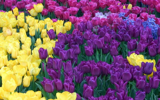 download colorful tulips live wallpaper for pc