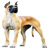 Great Dane Breeders