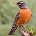North American Birds Free icon