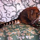 Sotuh American Coati