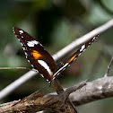 Varied Eggfly Butterfly