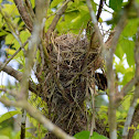 Olive-backed Sunbird Nest