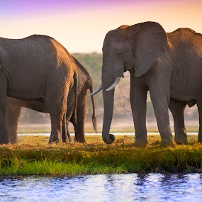 Elephant Family in African Delta by Marjorie Speiser - Animals Other Mammals ( water, african, family, elephant, delta, river,  )
