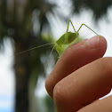 Florida false katydid