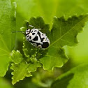White cabbage bug
