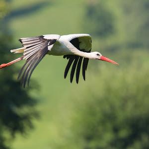 Stork-3.jpg