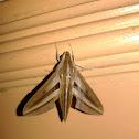 Impatiens hawk moth