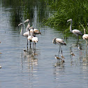 Greater Flamingo(es)