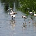 Greater Flamingo(es)