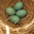 American Robin (nesting)