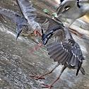 Juvenile Black-crowned Night Heron,