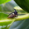 Thorn Mimic Treehopper
