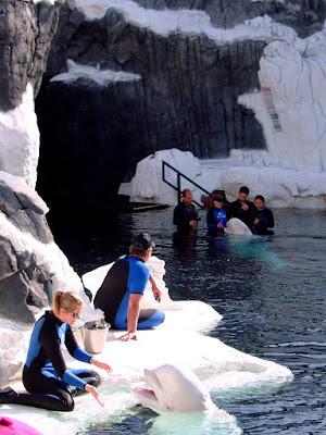 하얀 돌고래(Whitre whale) - 샌디에고 씨월드(Seaworld - San diego) [하얀 돌고래,white whale,샌디에고,씨월드,수족관,수중생물,테마파크,san diego,seaworld,theme park]