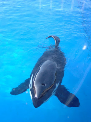 범고래(Killer whale) - 샌디에고 씨월드(Seaworld - San diego) [범고래,killer whale,샌디에고,씨월드,수족관,수중생물,테마파크,san diego,seaworld,theme park]