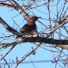 Northern Flicker Woodpecker (Male)