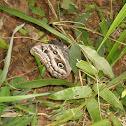 Borboleta olho-de-coruja (Owl butterfly)