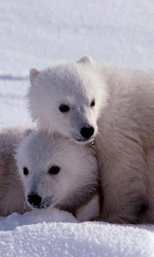 北極熊壁紙