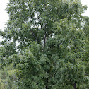 Black Walnut tree / fruit