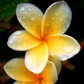 Kamboja by Akhmat Haridi - Flowers Tree Blossoms