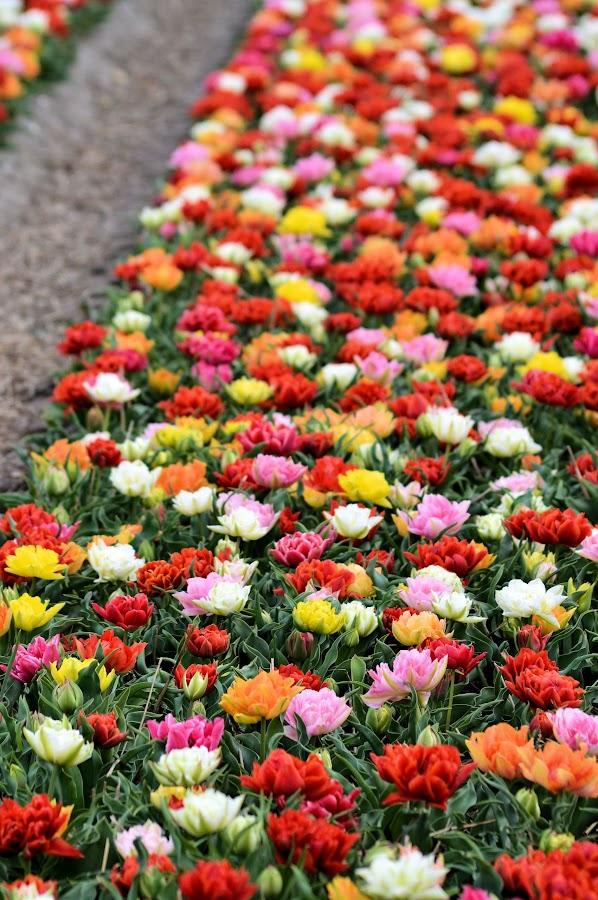 Tulips by Heather Aplin - Flowers Flower Gardens ( field, orange, red, keukenhof, pink, tulips, yellow, plantation, rows,  )