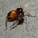 Nocturnal Sugar Ant
