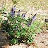 Wild Perennial Lupin