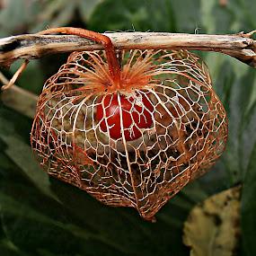A Well-deserved Grandeur by Marija Jilek - Nature Up Close Other plants ( nature, plants, seed/fruit, ( welldeserved) grandeur, physalias alkekengi )