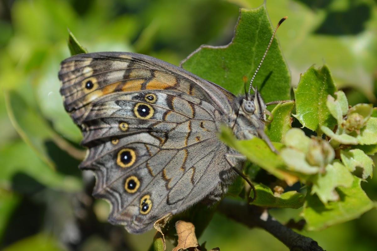 Lattice Brown Butterfly