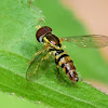 Syrphid Fly, male