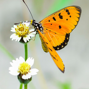 Tawny Coster - Butterfly by BoonHong Chan - Animals Insects & Spiders ( butterfly, park, tawny coster, parks, gardens, insect, garden )
