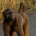 Cape chacma baboon